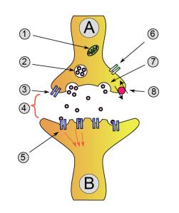 Synapse_diag1
